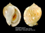 Semicassis pyrum