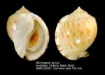 Semicassis pyrum