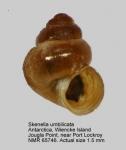 Skenella umbilicata