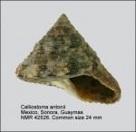 Calliostoma antonii