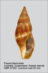 Pisania fasciculata