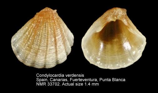 Condylocardia verdensis