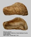 Milneria minima