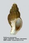 Retifusus jessoensis
