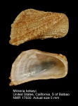 Milneria kelseyi