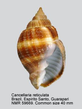 Cancellaria reticulata
