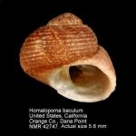 Colloniidae