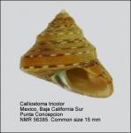 Calliostoma tricolor
