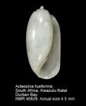 Acteocina fusiformis