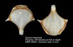 Cavoliniidae