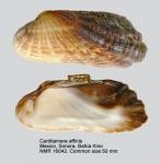 Carditamera affinis