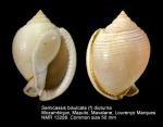 Cassidae