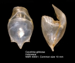 Cavolinia gibbosa
