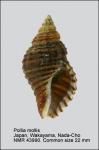 Pollia mollis