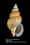 Buccinum scalariforme