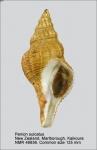 Penion sulcatus
