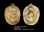 Crepidula maculosa
