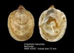 Crepidula maculosa