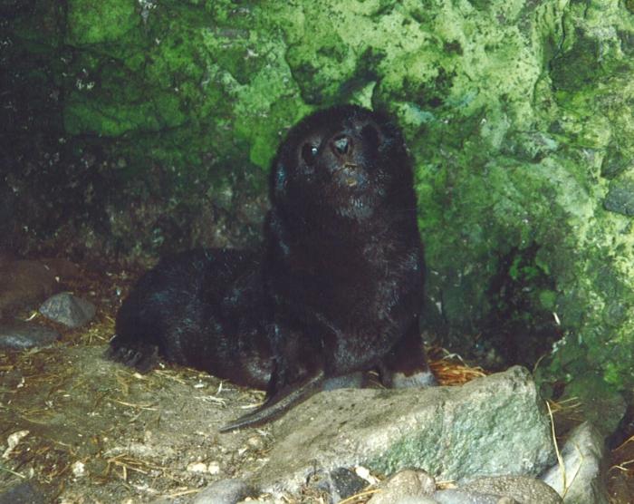 sub-Antarctic fur seal