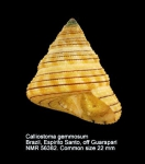 Calliostoma gemmosum