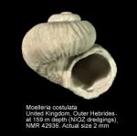 Moelleria costulata