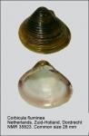 Cyrenidae