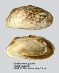 Carditamera gracilis