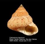 Calliostoma depictum