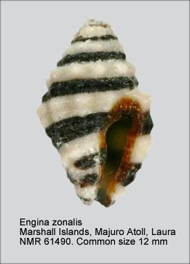 Engina zonalis