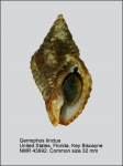 Gemophos tinctus