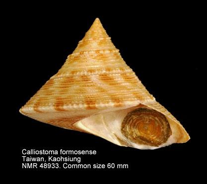 Calliostoma formosense