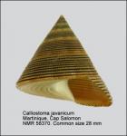 Calliostoma javanicum