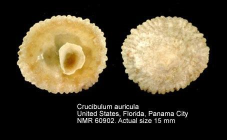 Crucibulum auricula