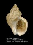 Buccinum mirandum