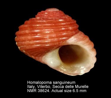 Homalopoma sanguineum