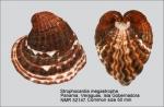 Strophocardia megastropha