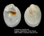Crepidula unguiformis