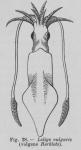 Eben (1884, figuur 28)