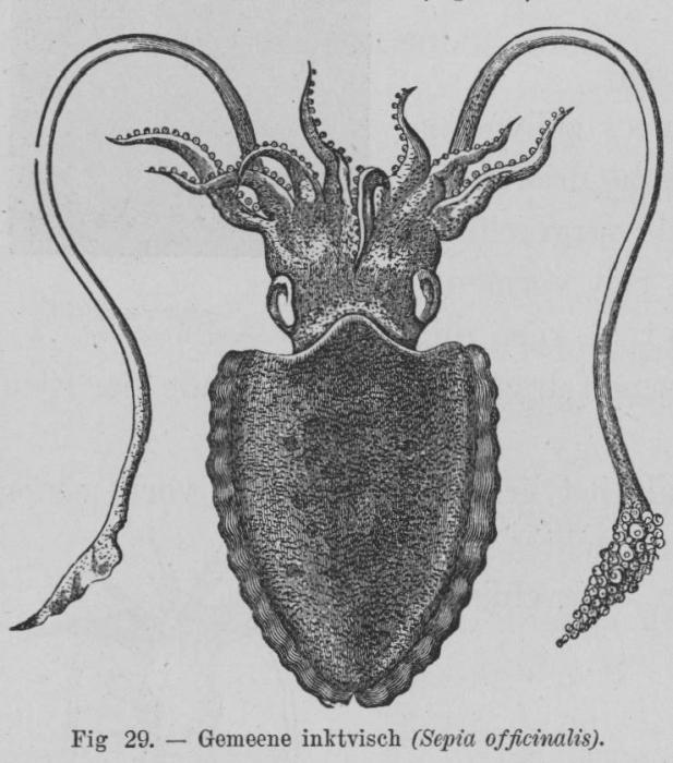 Eben (1884, figuur 29)