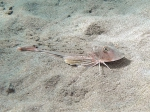 Chelidonichthys lucerna
