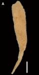 Amphliectus utriculus