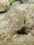 Gobius fallax
