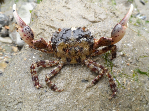 Japanese shore crab - Hemigrapsus sanguineus