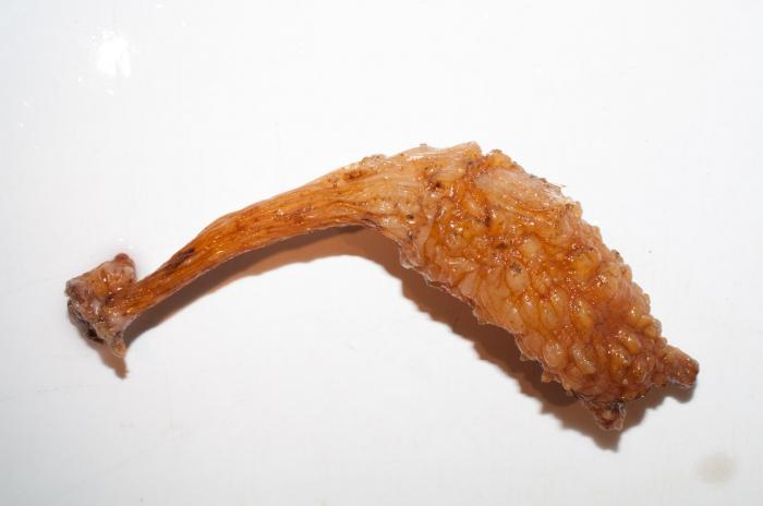 Styela clava - clubbed tunicate