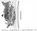 Hymeniacidon glabrata Burton, 1954