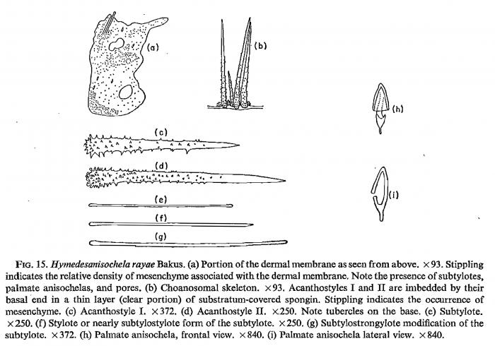 Hymedesanisochela rayae Bakus, 1966