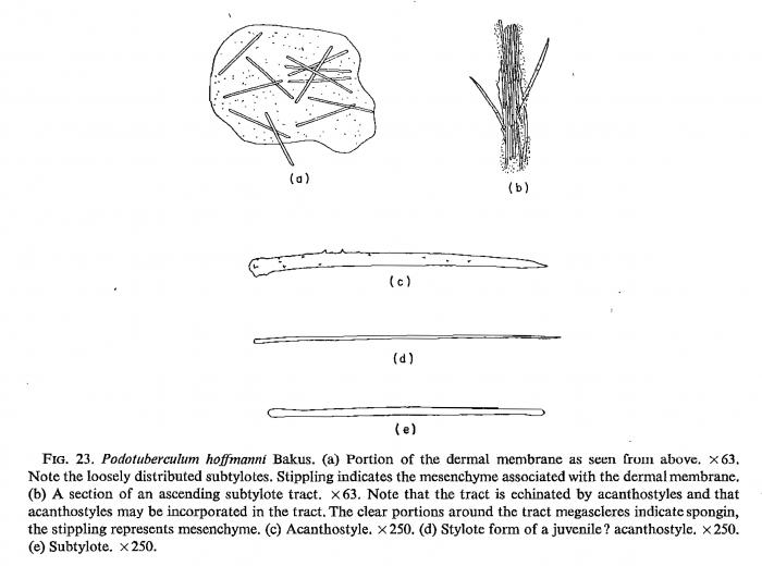 Podotuberculum hofmanni Bakus, 1966