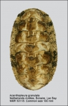Acanthopleura granulata