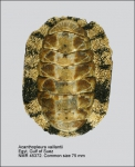 Acanthopleura vaillantii