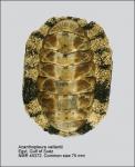 Acanthopleura vaillantii